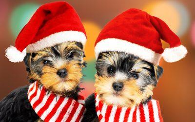 Yorkie Christmas Fun