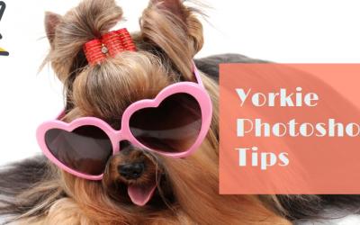 Yorkie Photoshoot Tips