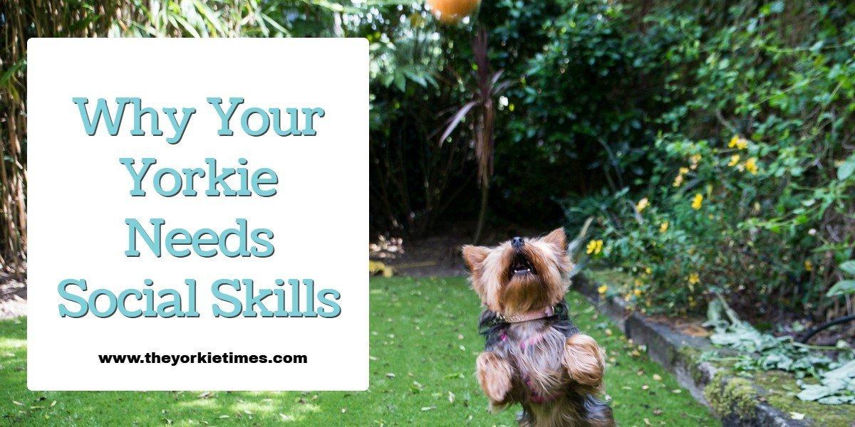 The Yorkie Times Blog - Yorkie Social Skills