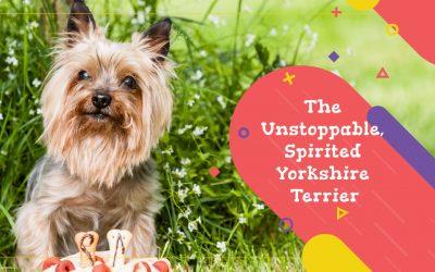 The Unstoppable, Spirited Yorkshire Terrier